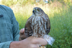 Young female Sharp-shinned Hawk banded September 17.  Photo by Jessica Shahan.