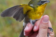 Yellow-breasted Chat (third of the season!) banded October 1.  Photo by Jim Moffett.