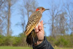 Northern Flicker SY female