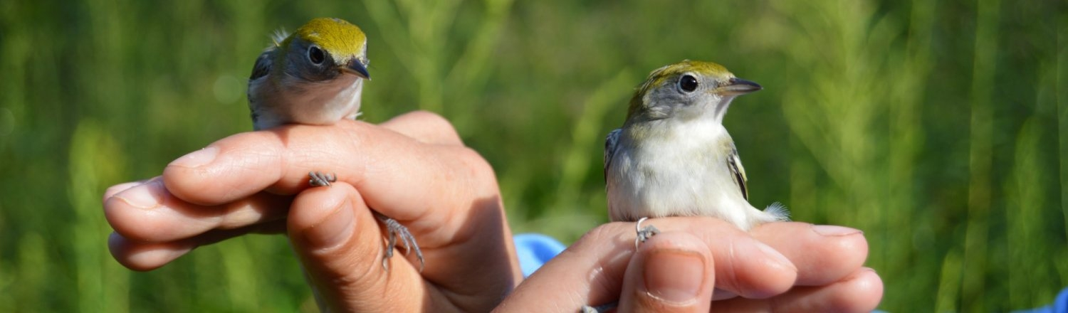 First-year-Chestnut-sided-warbler-11_HEADER