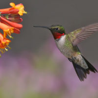 Ruby-throated Hummingbird by Terry Sohl