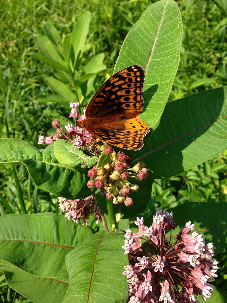 great-spangled-fritillary-on-common-milkweed