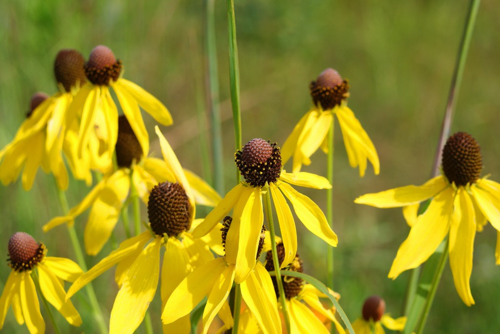 prairie-coneflower-august-20091-1024×685