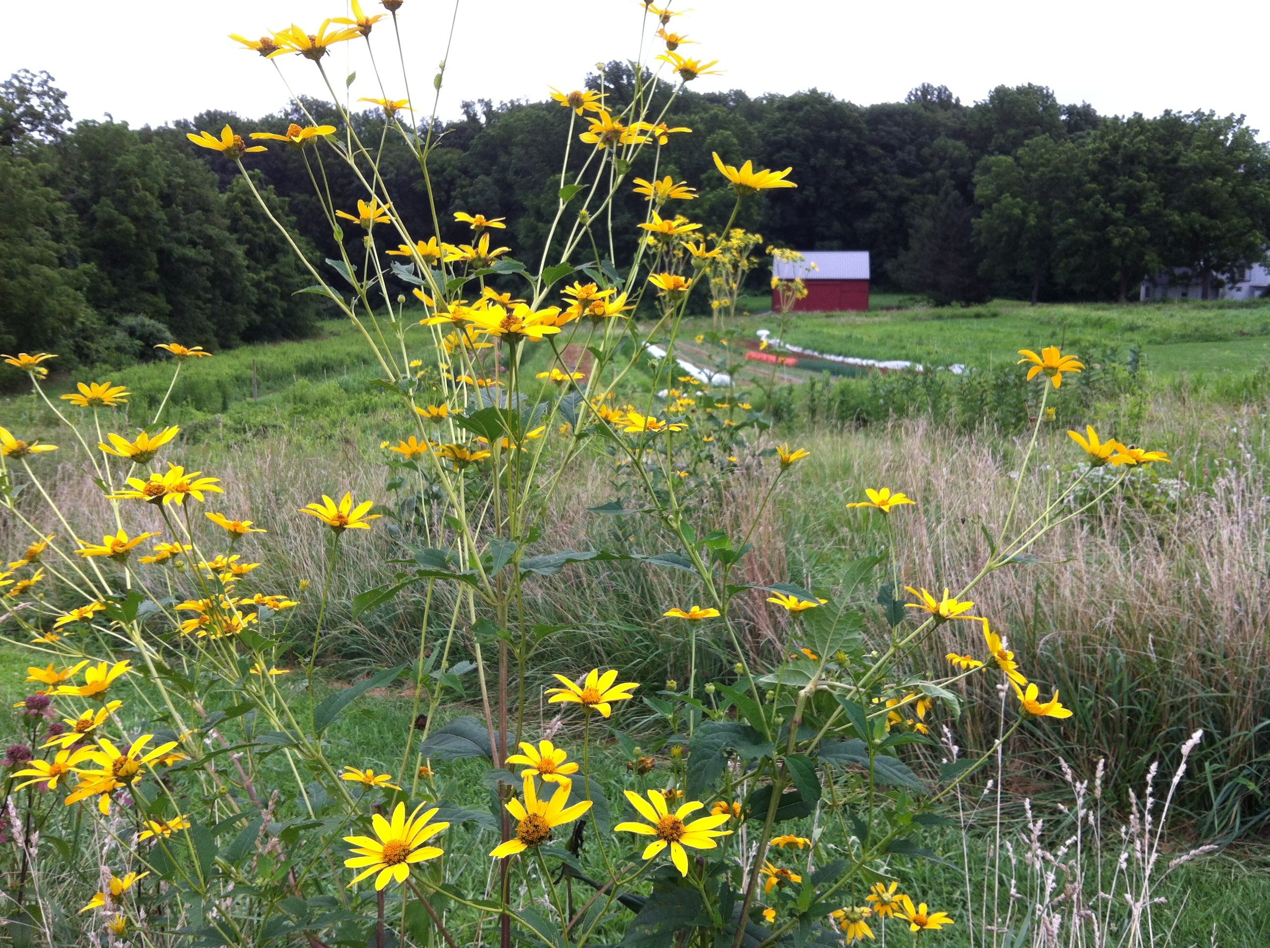 farm-rudbeckia-in-foreground-img_2971