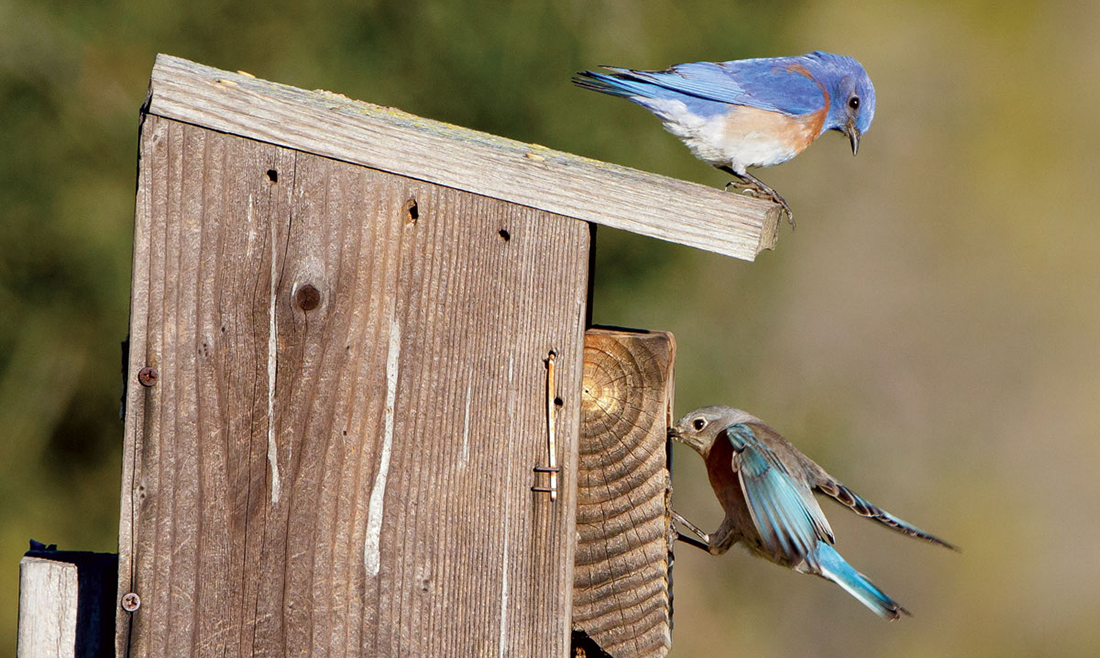 BluebirdNestbox-HiRes-SteveZamek_CROP