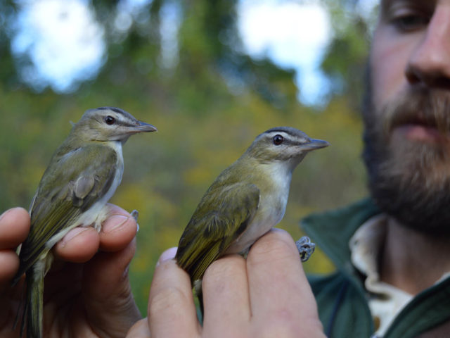 Monitoring Songbirds On the Move: Rushton Banding Station's Eighth Autumn