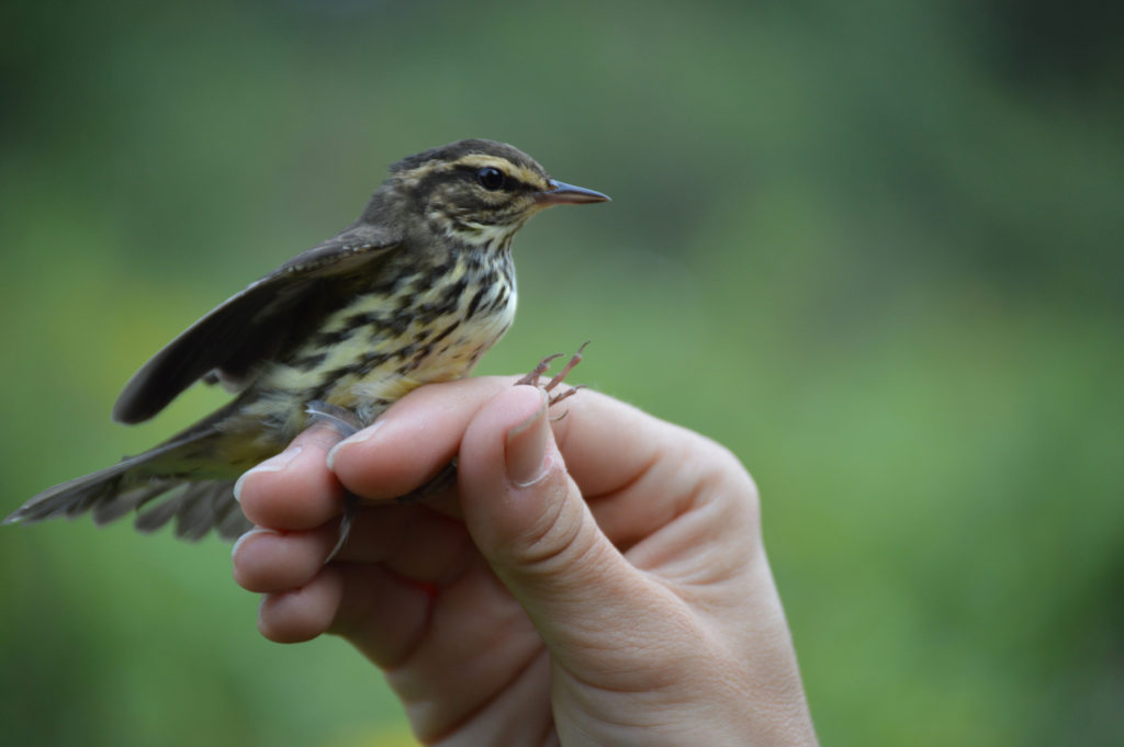 You Look Like a Tall Glass of Waterthrush