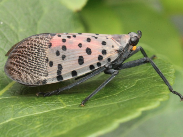 With the Spotted Lanternfly it's Always Squash Season