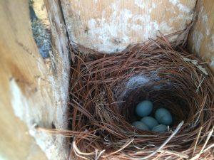 Tony Hitschler's bluebird eggs