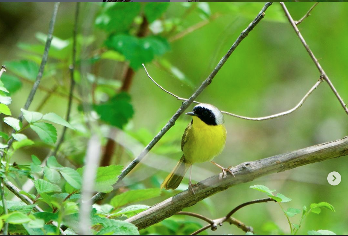 common-yellowthroat-ashbridge
