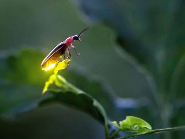 Fireflies, Moths, and Your Yard in the Dark