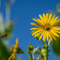 Native bee and Virginia cup plant.  Photo by Jennifer Mathes