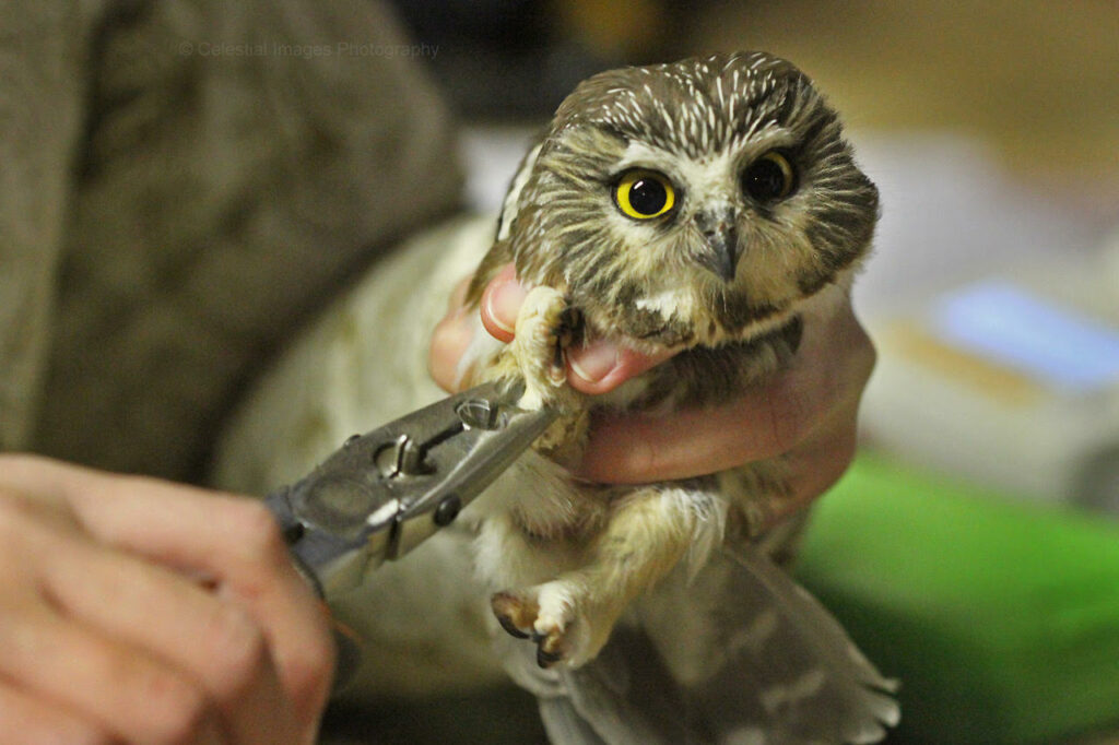 Flappy Hour: Secrets of the Saw-whet Owl