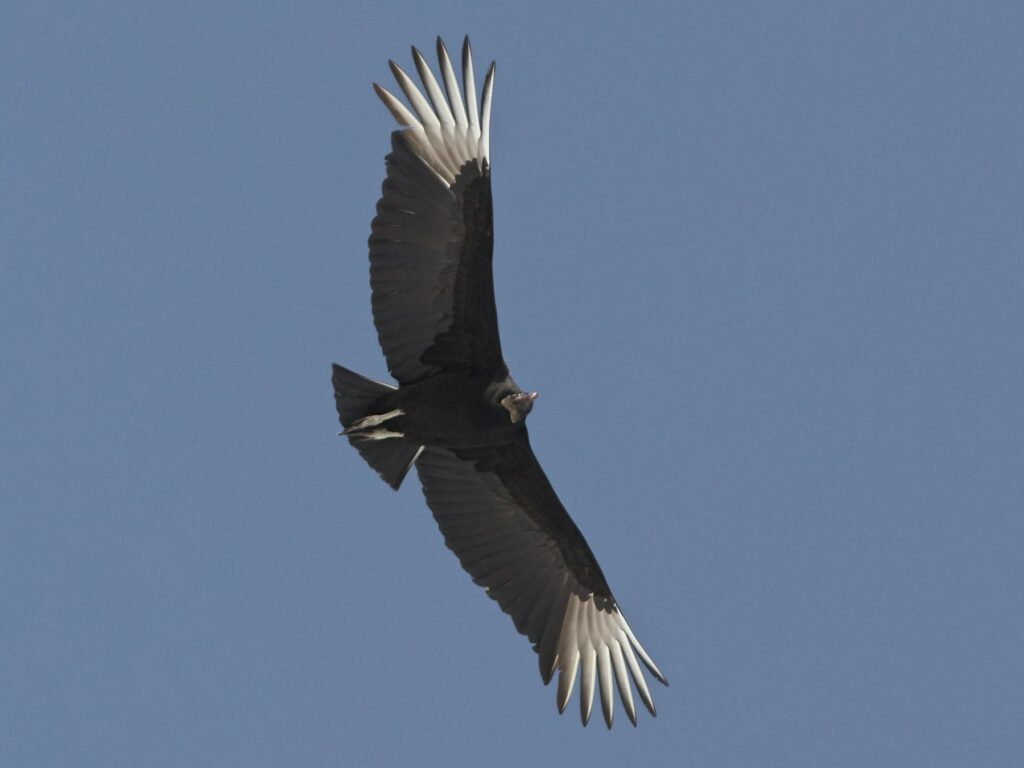 Flappy Hour: Black Vultures in the Backyard